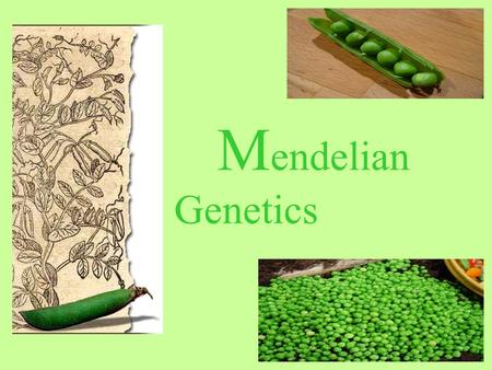 M endelian Genetics. Austrian Monk Father of Genetics Pea Plant Experiments (1858-1868)