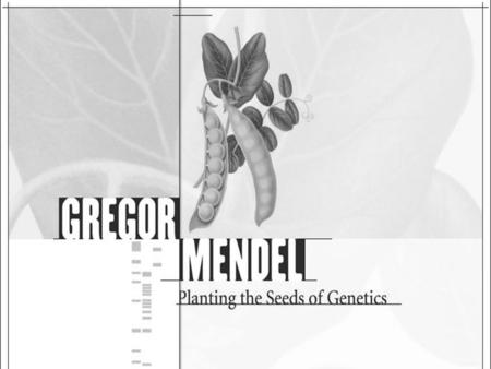 Gregor Mendel The study of heredity started with the work of Gregor Mendel and his pea plant garden. Gregor Mendel is considered to be the father of genetics.