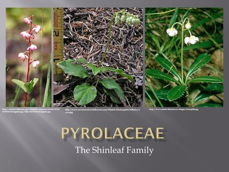 The Shinleaf Family  DwPinkwintergreen.jpg/250px-DwPinkwintergreen.jpg