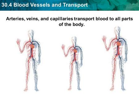 30.4 Blood Vessels and Transport Arteries, veins, and capillaries transport blood to all parts of the body.