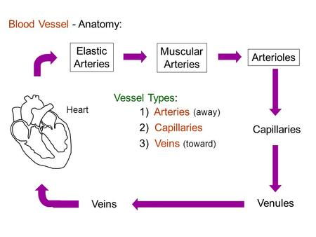 Blood Vessel - Anatomy: