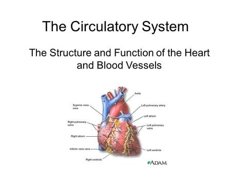 The Circulatory System The Structure and Function of the Heart and Blood Vessels.