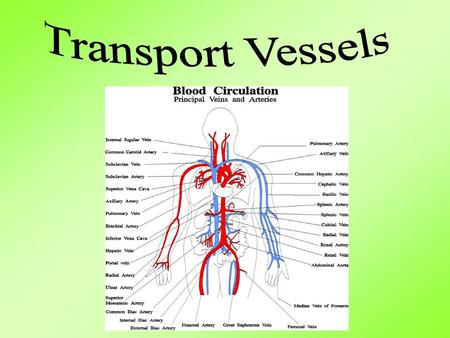 Aim: What are the human transport vessels? I. Human Transport Vessels A. Humans have a closed transport system B. Transport Vessels 1. Arteries a. Thick,