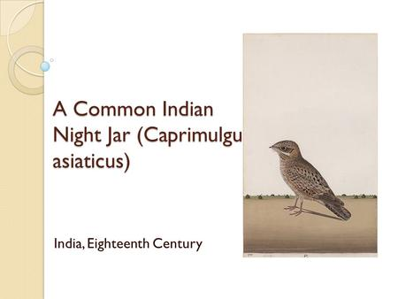 A Common Indian Night Jar (Caprimulgu asiaticus) India, Eighteenth Century.