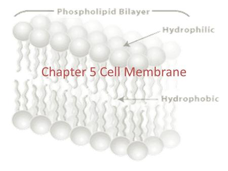 Chapter 5 Cell Membrane. Plasma Membrane --the fluid mosaic model (S.J Singer) -- semi-permeable --fluid portion is a double layer of phospholipids, called.