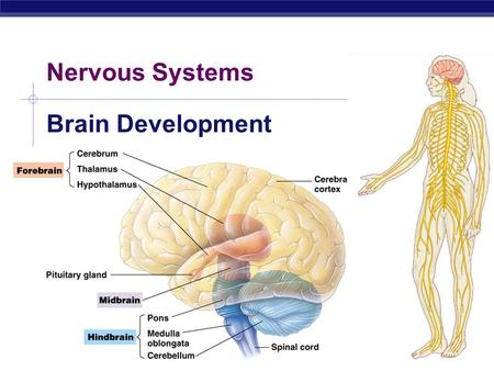 AP Biology 2007-2008 Nervous Systems Brain Development.