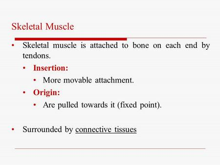 Skeletal Muscle Skeletal muscle is attached to bone on each end by tendons. Insertion: More movable attachment. Origin: Are pulled towards it (fixed point).