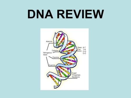 "DNA REVIEW. The connecting pieces or ""rungs"" on a DNA ladder. NITROGEN BASES."