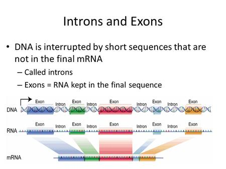 Introns and Exons DNA is interrupted by short sequences that are not in the final mRNA Called introns Exons = RNA kept in the final sequence.