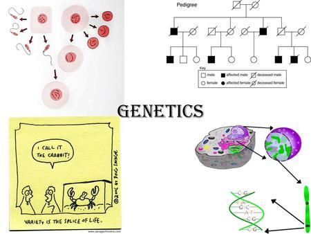 Genetics. What is Genetics? The branch of biology that seeks to explain biological variation Heredity: Transmission of characteristics (traits) from parent.