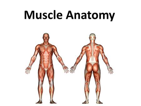 Muscle Anatomy.