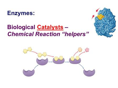"Enzymes: Biological Catalysts – Chemical Reaction ""helpers"""