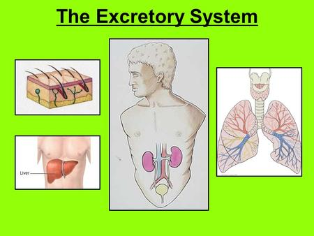 The Excretory System. The Excretory System: A system in the body that collects wastes produced by cells and removes the wastes from the body.