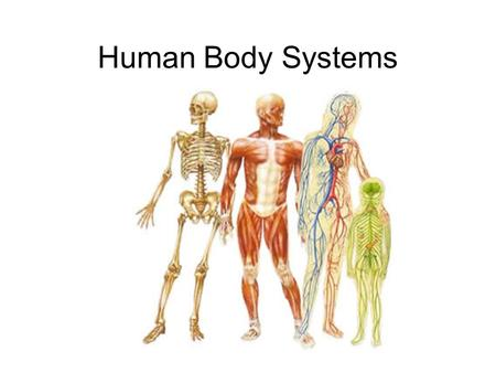 Human Body Systems Levels of Organization 1- cells 2- tissues 3- organs 4- organ systems 5- organism.
