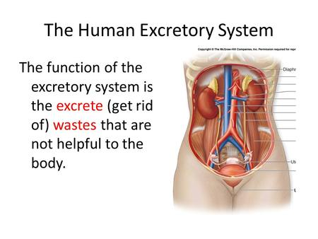 The Human Excretory System The function of the excretory system is the excrete (get rid of) wastes that are not helpful to the body.