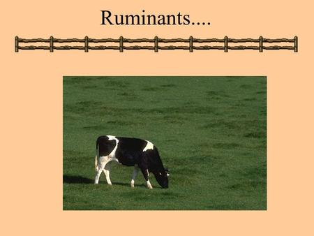 Ruminants..... Ruminants: Some Basics Distinguishing Features A. Rumination: regurgitation, remastication, re-insalivation, reswallowing B. Eructation: