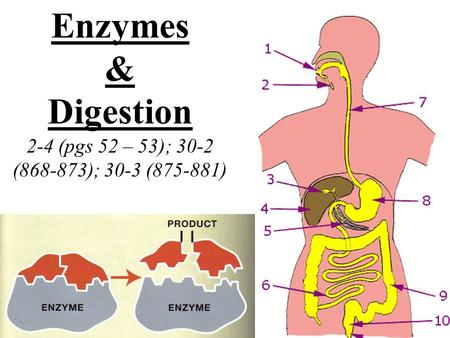 Enzymes & Digestion 2-4 (pgs 52 – 53); 30-2 (868-873); 30-3 (875-881)