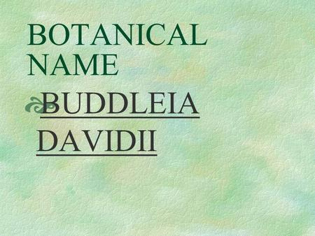 BOTANICAL NAME  BUDDLEIA DAVIDII PRONUNCIATION  BOOD – lee – uh duh – VID – ee - eye.