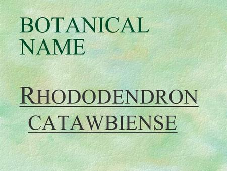 BOTANICAL NAME R HODODENDRON CATAWBIENSE PRONUNCIATION row - doe - DEN - dron cah - taw - bee -EN-see.