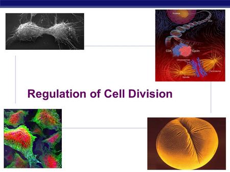 AP Biology Regulation of Cell Division AP Biology 1.Coordination of cell division a. A multicellular organism needs to coordinate cell division across.