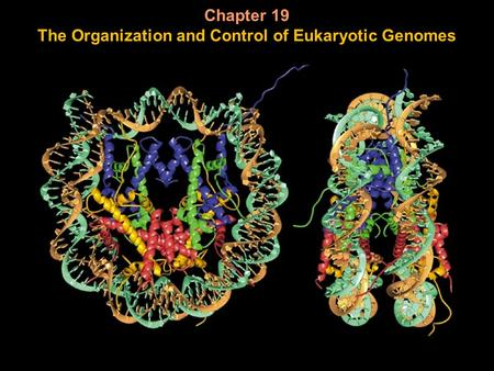 Chapter 19 The Organization and Control of Eukaryotic Genomes.