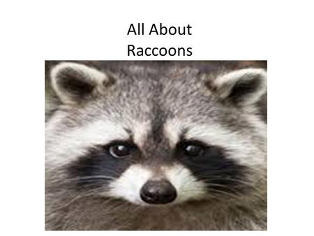 All About Raccoons. Animal Classification Raccoons are carnivores, predators, and mammals.