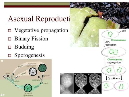 Asexual Reproduction Vegetative propagation Binary Fission Budding