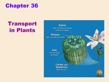Chapter 36 Transport in Plants.