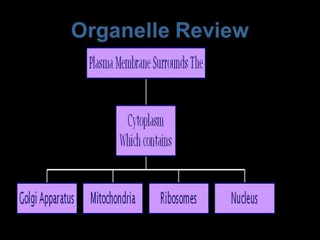 Organelle Review Protein Synthesis and Secretion Ribosomes attach to the E.R. and make protein Protein is then sent to the Golgi Apparatus The G.A. packages.