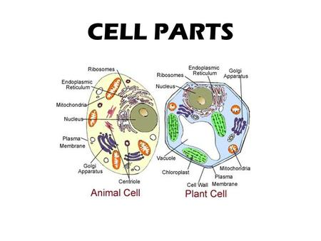 CELL PARTS. ANIMAL CELLS PLANT CELLS ORGANELLE A specialized subunit within a cell that has a specific function. cell The name organelle comes from.