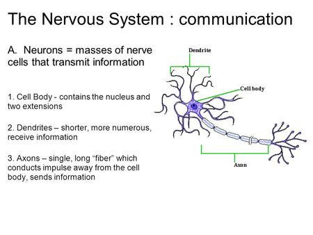 The Nervous System : communication A. Neurons = masses of nerve cells that transmit information 1. Cell Body - contains the nucleus and two extensions.