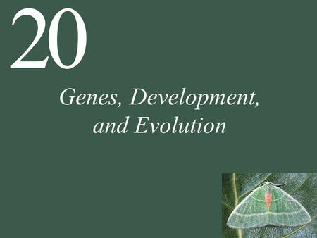 20 Genes, Development, and Evolution. 20 Genes, Development, and Evolution 20.1 How Can Small Genetic Changes Result in Large Changes in Phenotype? 20.2.