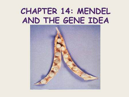 CHAPTER 14: MENDEL AND THE GENE IDEA. Gregor Mendel - ~1857 grew peas and discovered patterns in inheritance Gene - a specific sequence (section) of DNA.