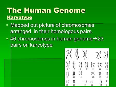 The Human Genome Karyotype  Mapped out picture of chromosomes arranged in their homologous pairs.  46 chromosomes in human genome  23 pairs on karyotype.