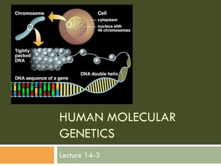 HUMAN MOLECULAR GENETICS Lecture 14-3. Genetic testing Genetic tests are now available for hundreds of disorders. Parents can find out if they carry defective.
