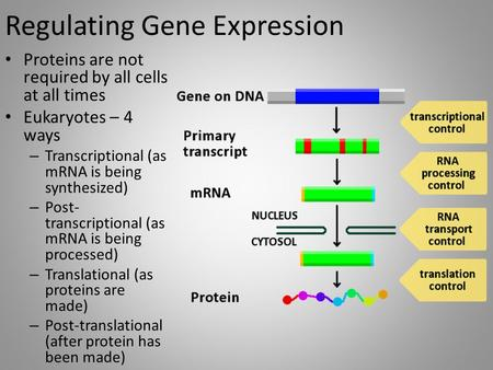Regulating Gene Expression Proteins are not required by all cells at all times Eukaryotes – 4 ways – Transcriptional (as mRNA is being synthesized) – Post-