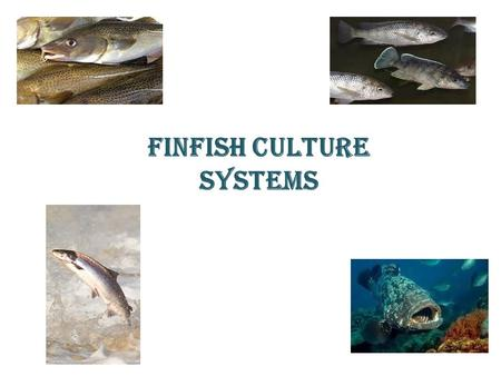 FINFISH CULTURE SYSTEMS. The milkfish Chanos chanos - only species of the family Chanidae Does not form a capture fishery significance Important in large.