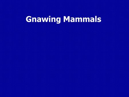 Gnawing Mammals. Mammal Characteristics  Warm – Blooded  Usually have a protective coat of hair and a bony skeleton  Babies are fed milk with mammary.