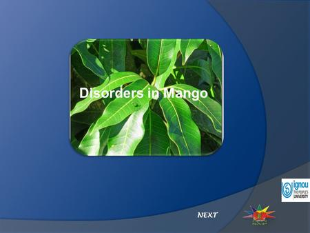Disorders in Mango NEXT. Disorders in Mango Malformation Fruit Drop Black Tip Click on the disorder Mango disorders.