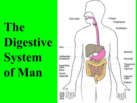 The Digestive System of Man.