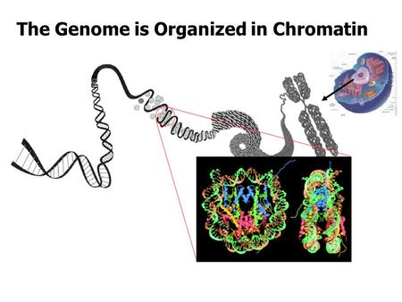 The Genome is Organized in Chromatin. Nucleosome Breathing, Opening, and Gaping.