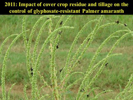 2011: Impact of cover crop residue and tillage on the control of glyphosate-resistant Palmer amaranth.