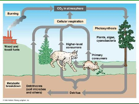 Plants & The Carbon Cycle Plants take in carbon dioxide and convert it to sugar which can be stored until used for energy. This process is called photosynthesis.