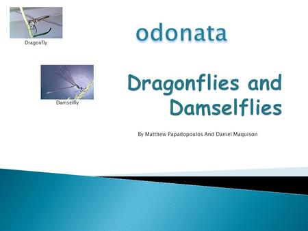 By Matthew Papadopoulos And Daniel Maquison Dragonfly Damselfly.