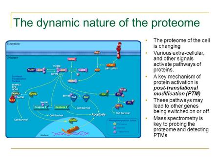 The dynamic nature of the proteome The proteome of the cell is changing Various extra-cellular, and other signals activate pathways of proteins. A key.