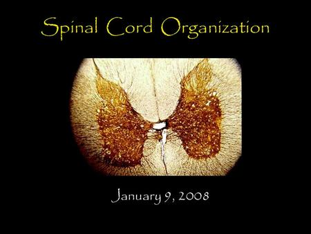 Spinal Cord Organization January 9, 2008. Spinal Cord 31 segments terminates at L1-L2 special components - conus medularis - cauda equina no input from.