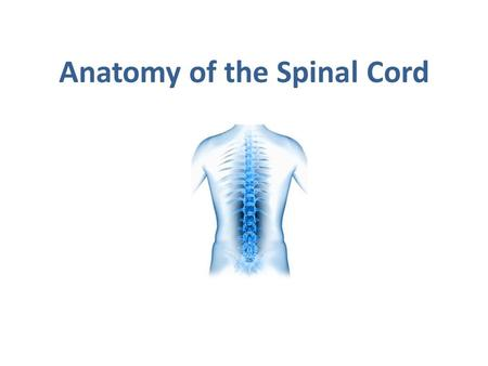 Anatomy of the Spinal Cord. OBJECTIVES  At the end of the lecture, students should be able to: Describe the external anatomy of the spinal cord. Describe.