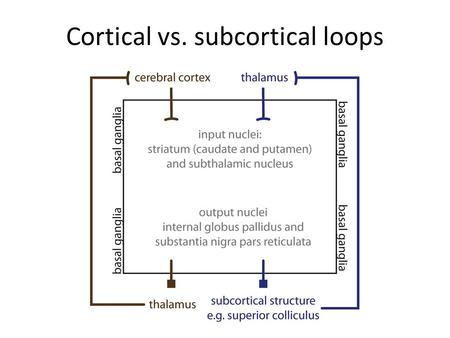 Cortical vs. subcortical loops. Lateral inhibition in striatum.