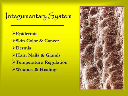 Integumentary System  Epidermis  Skin Color & Cancer  Dermis  Hair, Nails & Glands  Temperature Regulation  Wounds & Healing.