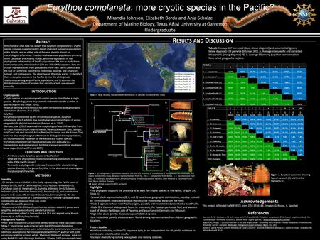 Eurythoe complanata: more cryptic species in the Pacific? Mirandia Johnson, Elizabeth Borda and Anja Schulze Department of Marine Biology, Texas A&M University.